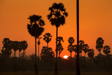 Sugar palm and rice filed during sunset