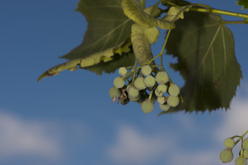 linden fruit on blue sky background