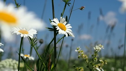 Blooming daisies on summer meadow
