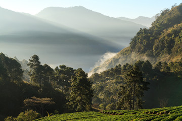 misty morning sunrise in strawberry garden at doi angkhang mount