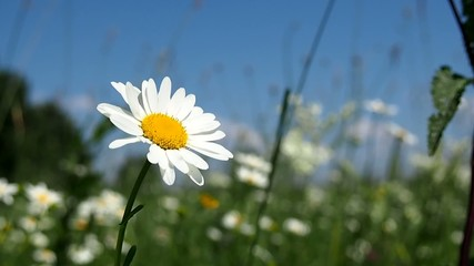 Blooming daisy on the summer meadow
