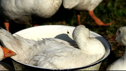 White Domestic Geese Swimming in Pelvis close-up.