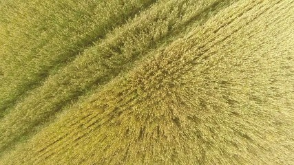 flight over the wheat field. Aerial