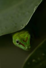 Gecko hinter Blatt