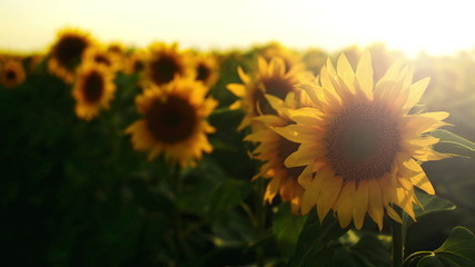 Sunflower agricultural field in sunset. 1920x1080 full hd