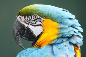 pappagallo uccello specie esotica