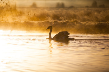 Mute swan gliding across a mist covered lake at dawn