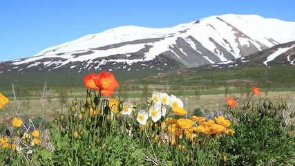 Flowers against the background of snowy mountains