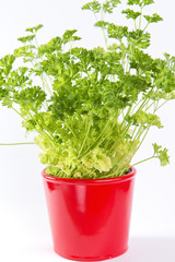 Parsley in a pot isolated on white