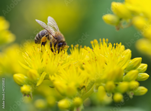 Foto op Aluminium Bee Bee on yellow flower