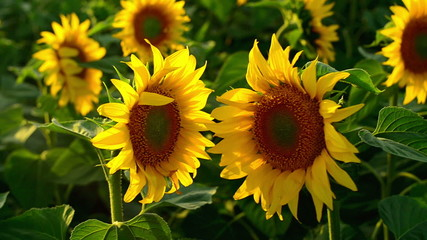 Two sunflowers facing each other in agricultural field.