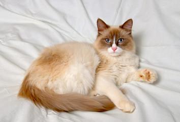 Siberian cat breeds Nevskaya-Masqueradnaja.