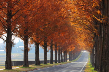 マキノ メタセコイア並木の紅葉