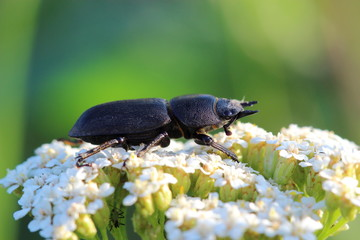 Lesser stag beetle (Dorcus parallelipipedus) on yarrows flowers