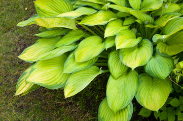 Spring background with hosta leaves