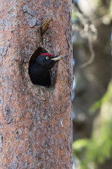 Black Woodpecker in the nest