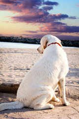 Labrador retriever dog looking at the sea and the sunset