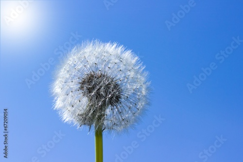 canvas print picture Pusteblume