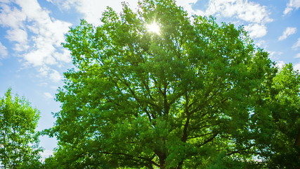 Beautiful Sun Rays through the Oak. HD 1080.