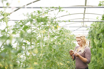 Female Farm Worker Checking Tomato Plants In Greenhouse