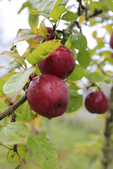 Branch of ripe apples