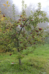 Apple tree in gloomy rainy garden