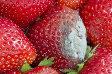 Schimmelbildung auf Erdbeere