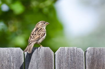 House Sparrow Resting on the Backyard Fence