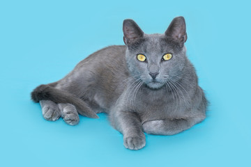 Gray cat lying on a blue background, looking at camera
