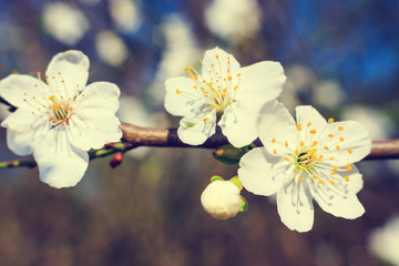 vintage white blossoms in spring