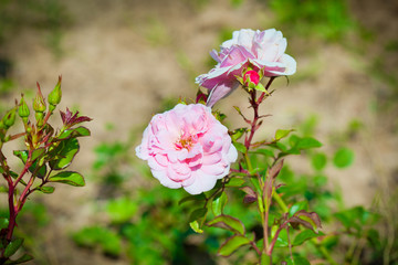 pink flower rose outdoors
