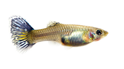 Female of guppy isolated white
