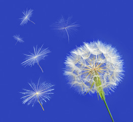 Dandelion with seeds blowing away in the wind across a clear blu