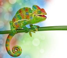 Kameleon i kolory