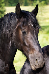 Horse - Black Friesian stallion portrait