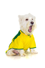 Brazilian westie dog complaining at a football game
