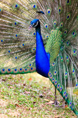 Male Peacock on Displaying Feathers