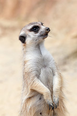 A meerkat looking around