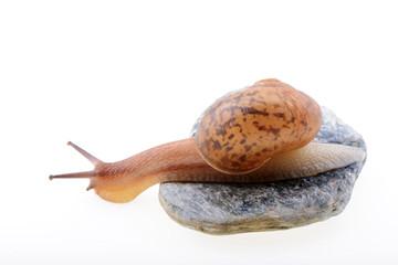 Snail on a stone