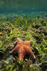 Cushion sea star Oreaster reticulatus underwater