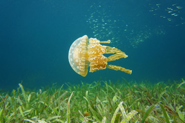 Golden medusa spotted jellyfish in Caribbean sea