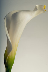 Soft curves of a Calla Lilly