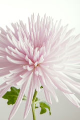 High key pink chrysanthemum