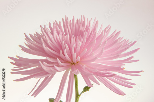 Pink chrysanthemum isolated - 67222299