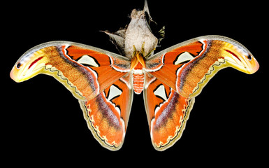 Moth (Attacus atlas) seated on his cocoon in front of a black ba