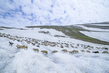 Sheep walk on snow