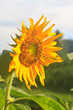 beautiful sunflower in field and blue sky