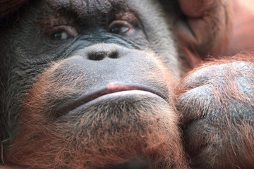 Close-up of bornean orangutan