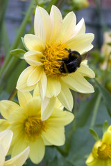 Dahlia and the Bee