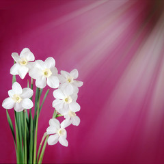 Bouquet of white daffodils on a burgundy background